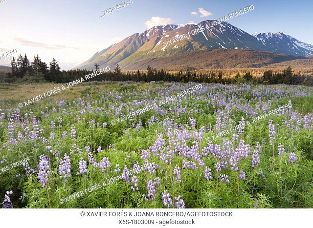 Meadow of Nootka Lupine - Lupinus nootkiensis -, Seward Highway, Alaska, U S A