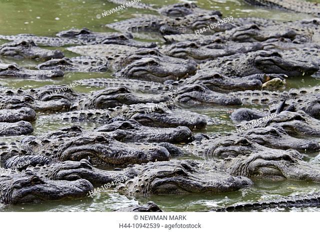american alligator, alligator mississippiensis, Florida, USA, everglades, alligator, animal, crocodile, group