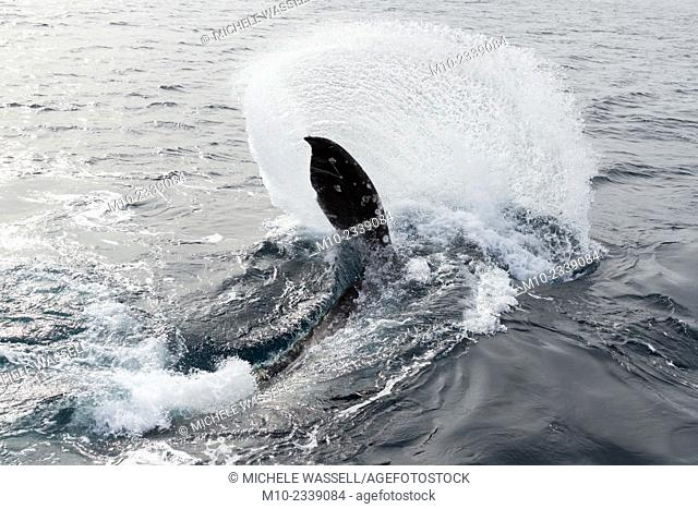 A California Gray Whale moving its tail along the surface of the water in the Santa Barbara Channel, California, USA