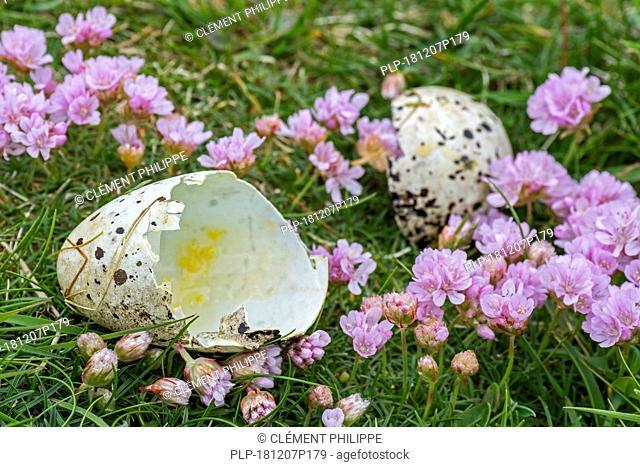 Predated egg shells of razorbill (Alca torda) broken and eaten by herring gull or great skua in spring, Scotland, UK