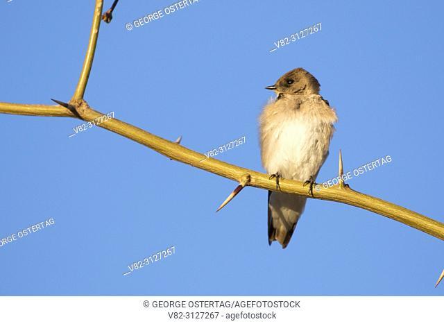 Swallow, City of Henderson Bird Viewing Preserve, Nevada