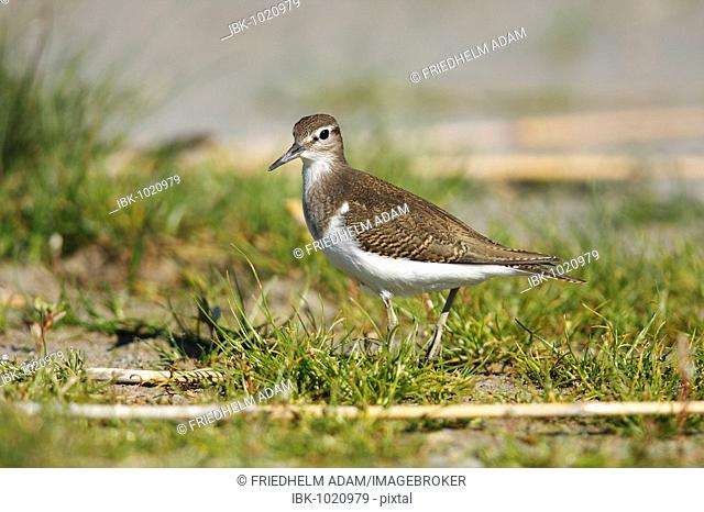 Common Sandpiper (Actitis hypoleucos), at Lake Darscho, Apetlon, Neusiedl am See district district, Burgenland, Austria, Europe