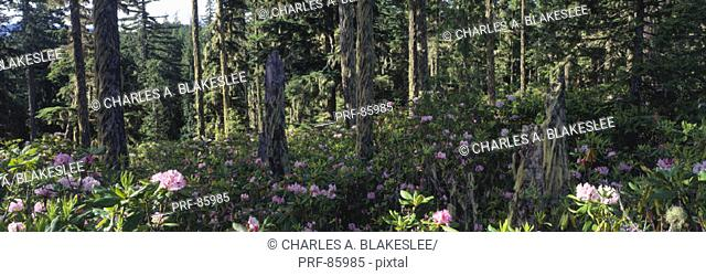 Wild Rhododendrons Mount Hood National Forest OR