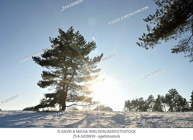 Landscape of a Scots pine (Pinus sylvestris L. ) on a sunny day in winter