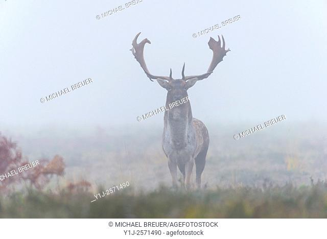 Fallow Deer (Cervus dama) on misty morning, Autumn, Hesse, Germany, Europe