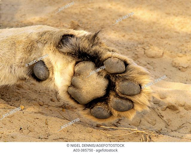 Lion (Panthera leo), detail of paw. Kgalagadi Transfrontier Park. Kalahari, South Africa