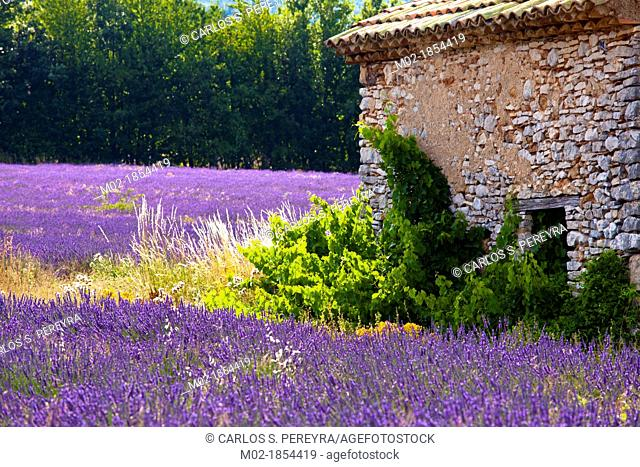 Blooming field of Lavender Lavandula angustifolia near of St-Christol and Sault, Vaucluse, Provence-Alpes-Cote d'Azur, Southern France, France, Europe
