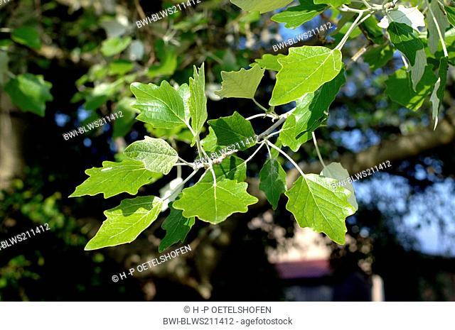 white poplar, silver-leaved poplar, abele Populus alba, twig with leaves, Germany