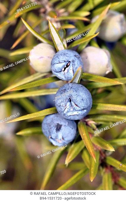 Common Juniper (Juniperus communis) berry-like seed cones. Osseja, Languedoc-Roussillon, Pyrenees Orientales, France