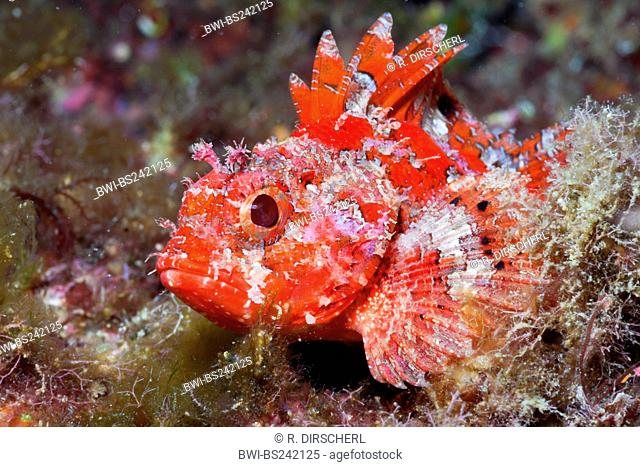 lesser red scorpionfish, little scorpionfish, small red scorpionfish (Scorpaena notata, Scorpaena ustulata), single individual, Spain, Katalonia, Tamariu