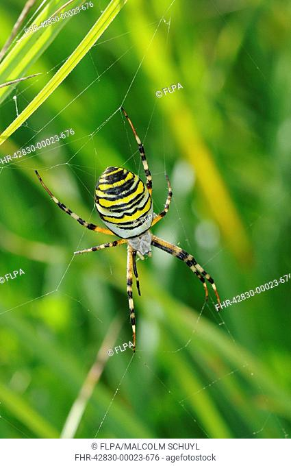 Black-and-yellow Orb-web Spider Argiope bruennichi adult female, in web amongst grass, Barnes, Richmond upon Thames, London, England, august