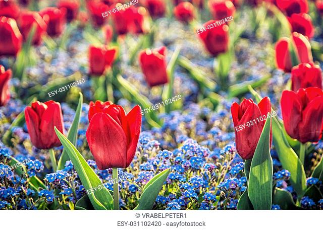 Red tulips and forget-me-not flowers planted in the park. Beauty in nature