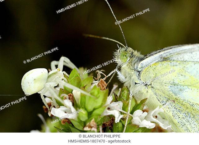 France, Morbihan, Araneae, face to face between an Goldenrod crab spider or Flower crab spider (Misumena vatia) and a Pierid butterfly