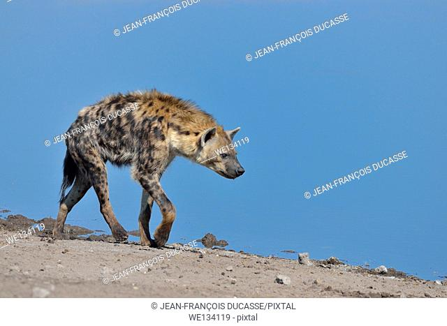 Spotted Hyena (Crocuta crocuta), walking along a waterhole, Etosha National Park, Namibia, Africa