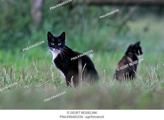 Cat Felis domesticus