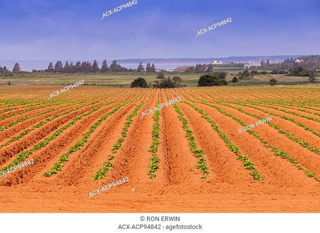 Red soil and potato field on Prince Edward Island, Canada