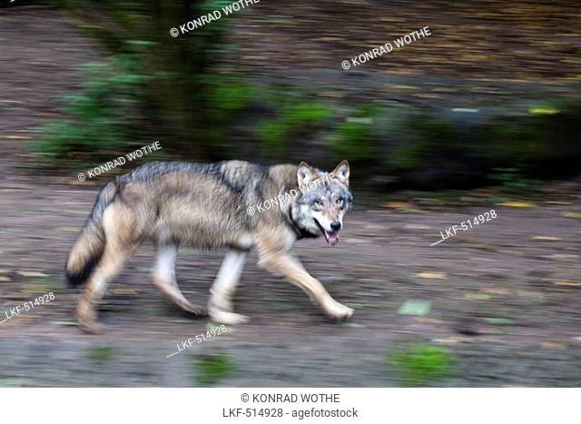 European Wolf running, Canis lupus, Europe, captive
