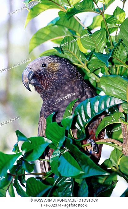 North Island Kaka (Nestor meridionalis septentrionalis). New Zealand