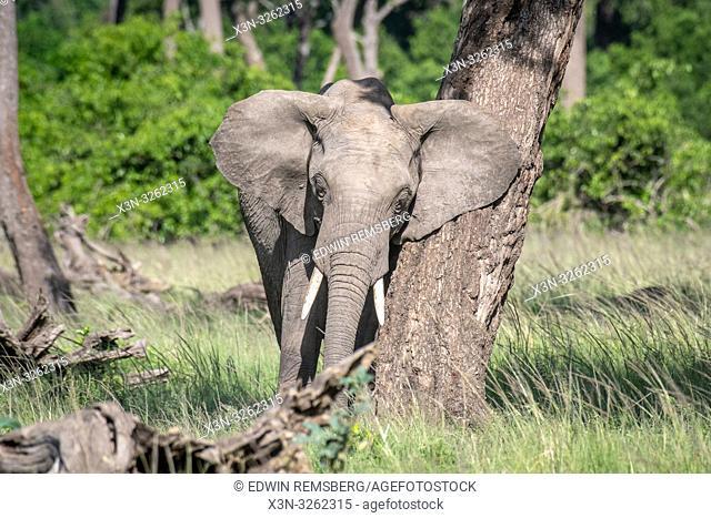 An African bush elephant (Loxodonta africana), aka African savanna elephant rubbing against a tree in Maasai Mara National Reserve , Kenya