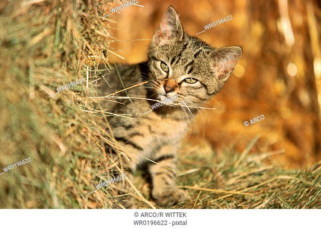Domestic, Cat