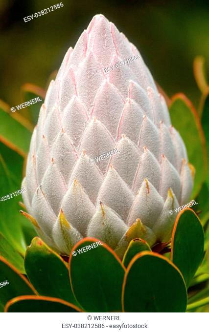 Close up of beautiful King protea