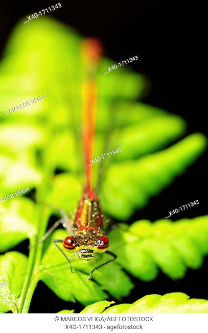 Male Large Red Damselfly Pyrrhosoma nymphula