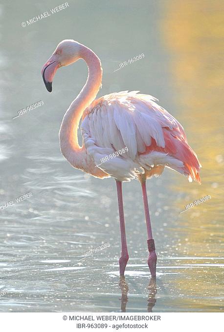 Pink flamingo (Phoenicopterus ruber roseus)