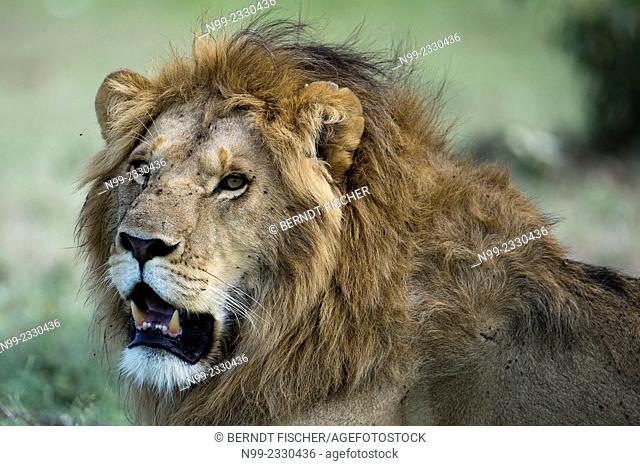 Lion (Panthera leo), head of a male, Masai Mara, Kenya