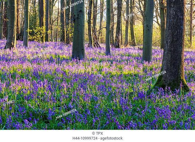 England, Hampshire, Bluebells