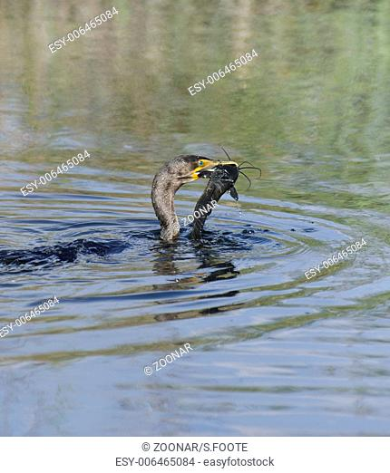Double-crested Cormorant (Phalacrocorax carbo)