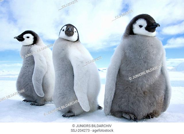Emperor Penguin (Aptenodytes forsteri). Three chicks standing on ice. Snow Hill Island, Antarctica