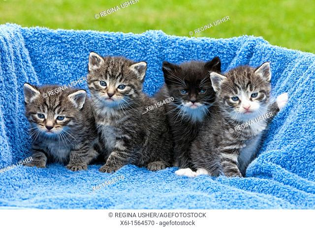 Kittens, four babies sitting together, Lower Saxony, Germany