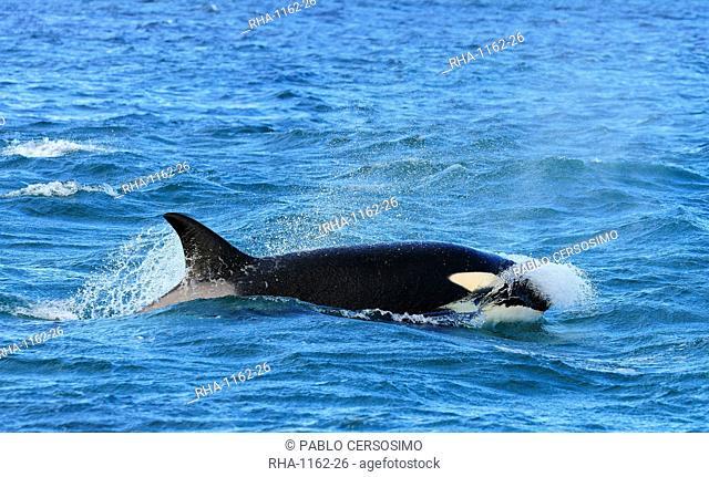 Orca (Orcinus orca), Peninsula Valdes, Patagonia, Argentina, South America