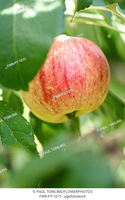 Apple, Malus domestica 'Breakwells seedling', A single apple of the cider variety growing on the tree