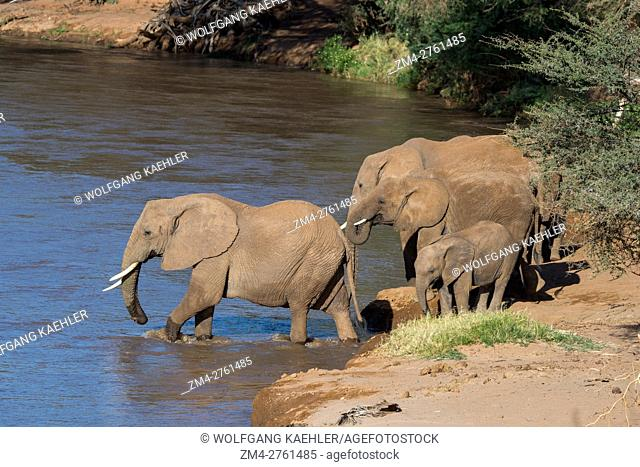 African elephants (Loxodonta africana) crossing the Ewaso Ngiro River in the Samburu National Reserve in Kenya