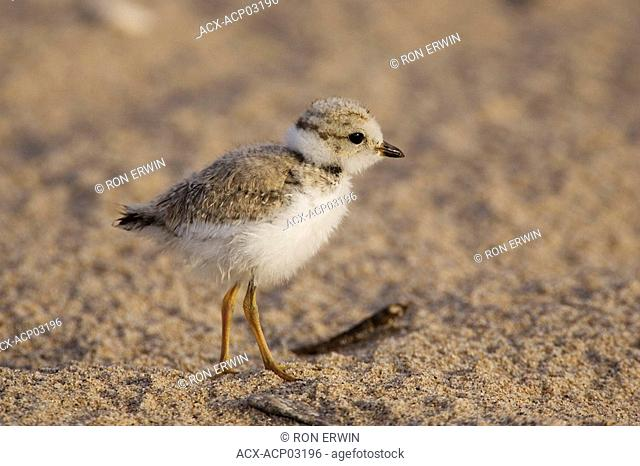 Piping Plover endangered chick Charadrius melodus, Grand Beach Provincial Park, Manitoba, Canada