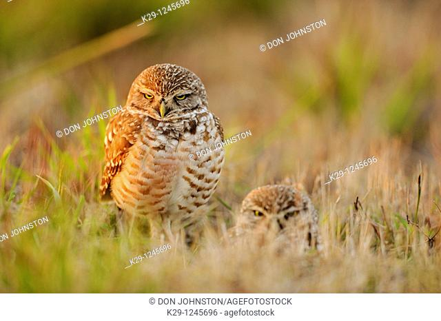 Burrowing owl Athene cunicularia Adults near nest in residential area