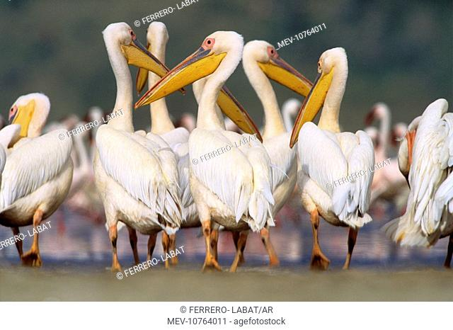 Great White Pelican - group in water (Pelecanus onocrotalus)