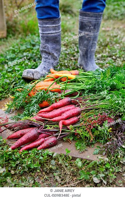 Cropped view of man harvesting carrots