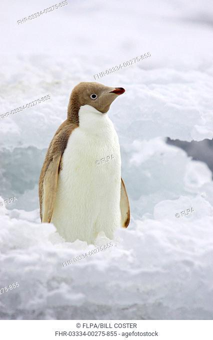 Adelie Penguin Pygoscelis adeliae leucistic, adult, standing on iceberg, Brown Bluff, Antarctic Peninsula, Antarctica