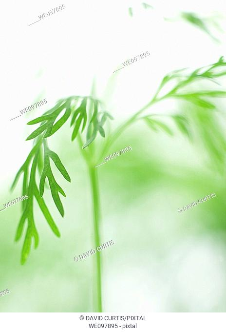 Close up of Dill