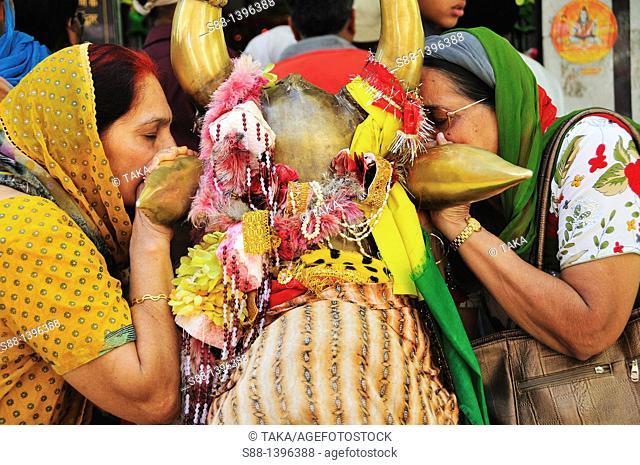 Pilgrims whisper their wish to the ear of the holy cow's at Gurudwara Temple in Manikaran