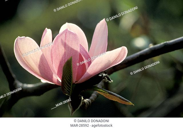 magnolia campbellii flowers, villa taranto, italy