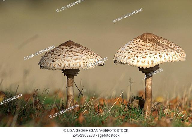 Parasol Mushroom-Macrolepiota procera