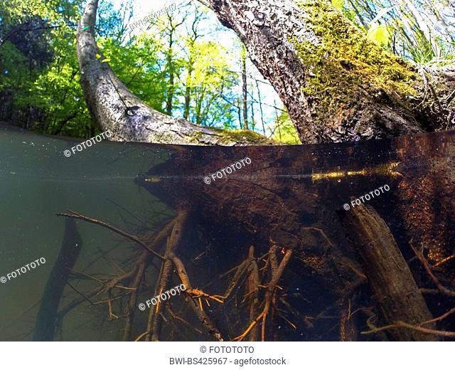 common alder, black alder, European alder (Alnus glutinosa), roots in water, split image, Germany, North Rhine-Westphalia