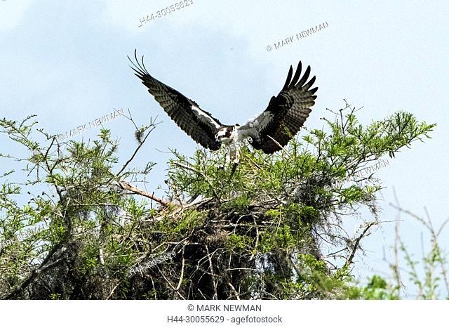 osprey at Blue Cypress Lake, Florida, April 2017, Pandion haliaetus