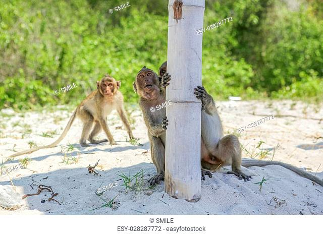 Monkey. Crab-eating macaque seats on the shore