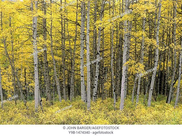 Fall-colored aspen grove, near Kebler Pass, West Elk Mountains, Gunnison National Forest, Colorado, USA