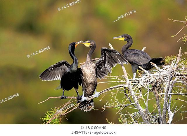 Neotropic cormorant, olivaceous cormorant, (Phalacrocorax brasilianus), adult with youngs on branch begging for food, Wakodahatchee Wetlands, Delray Beach