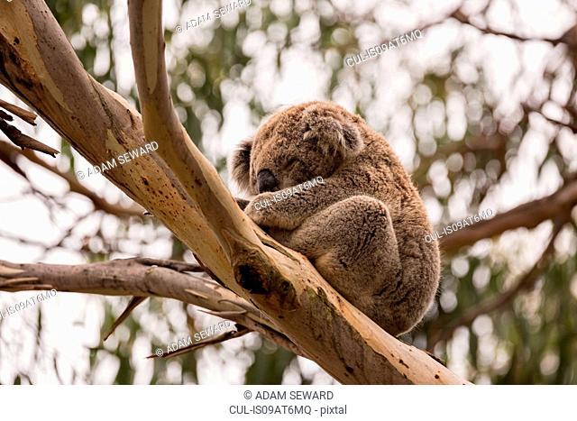 Low angle view of Koala (phascolarctos cinereus) sleeping in eucalyptus tree, Phillip Island, Victoria, Australia